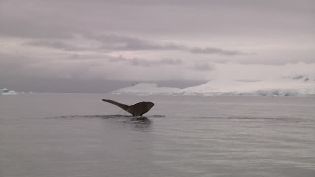 vídeos y material grabado en eventos de stock de exterior shots of humpback whales rising to surface and releasing air from blowholes as they move through antarctic ocean waters. humpback whales in... - narina