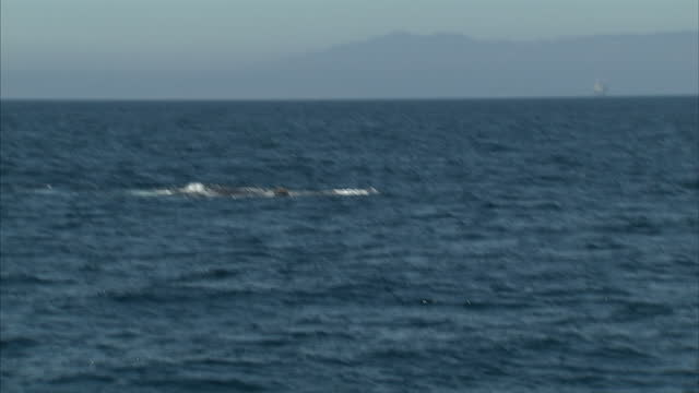 stockvideo's en b-roll-footage met exterior shots of humpback whales swimming at sea off the santa barbara coastline from a whale watching boat on october 19 2014 in santa barbara... - cetacea