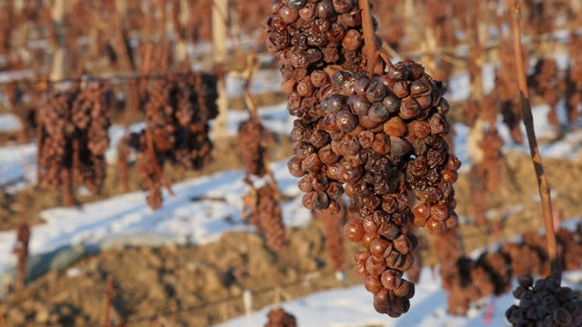 Exterior shots of 'ice wine' grapes on vines in a snowy vinyard setting on December 19 2014 in Liaoyang China