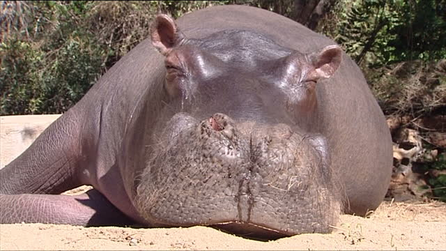 exterior shots of jessica the pet hippo grazing on grass and sleeping in the garden on june 26, 2007 in hoedspruit, south africa - エキセントリック点の映像素材/bロール
