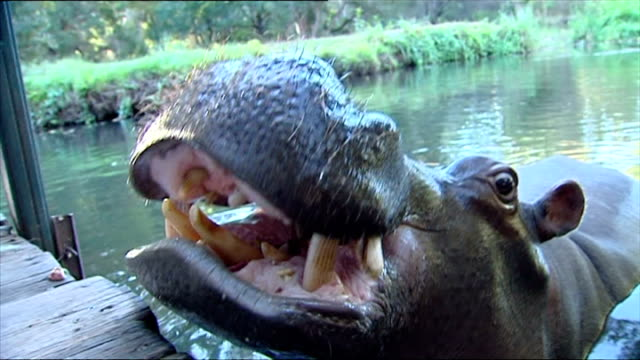 exterior shots of jessica the tame hippo being fed vegetables at the side of a river on june 26, 2007 in hoedspruit, south africa. - 飼い慣らされた点の映像素材/bロール
