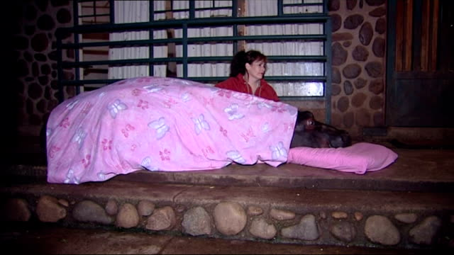exterior shots of jessica the tame hippo being 'put to bed' by her owner shirley joubert on june 26, 2007 in hoedspruit, south africa. - 飼い慣らされた点の映像素材/bロール