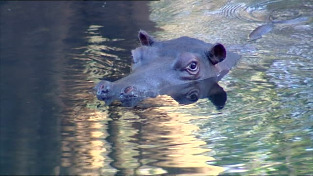 exterior shots of jessica the tame hippo swimming in a river on june 26 2007 in hoedspruit south africa - tame stock videos and b-roll footage