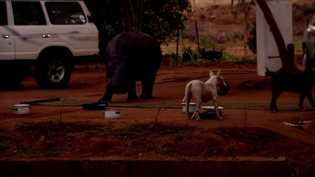 exterior shots of jessica the tame hippo walking around with pet dogs next to a farm building on june 26, 2007 in hoedspruit, south africa. - 飼い慣らされた点の映像素材/bロール
