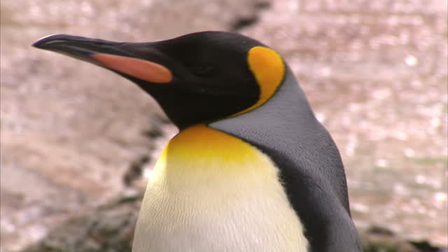 Exterior shots of King Penguins in an enclosure at Birdland Park and Gardens>> on August 03 2014 in BourtonontheWater England