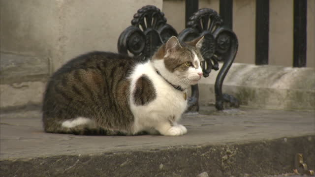 exterior shots of larry the cat sat on the step of number 10 downing street the morning after the general election as media stand by on 9 june 2017... - downing street stock-videos und b-roll-filmmaterial