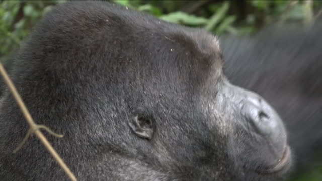exterior shots of mountain gorillas in the wild on 4 april 2018 in bukavu democratic republic of congo - 南キブ点の映像素材/bロール
