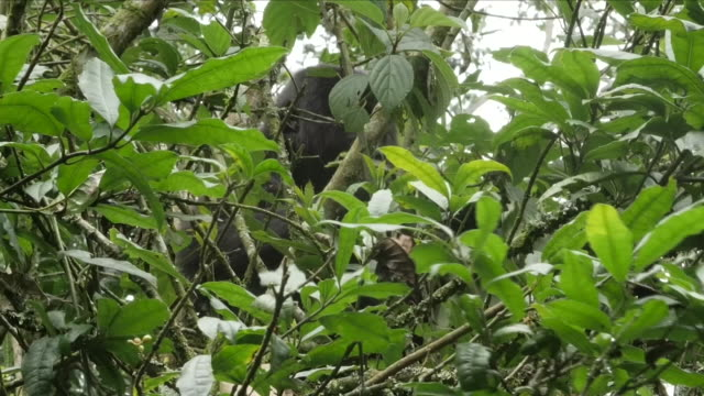 exterior shots of mountain gorillas in trees eating leaves on 4 april 2018 in the democratic republic of congo - 南キブ点の映像素材/bロール