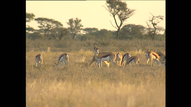 Exterior shots of ostrich gazelles and a lone blue wildebeest in their natural habitats on June 5 2001 in Botswana