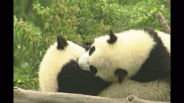 exterior shots of panda cubs in an enclosure at a breeding centre in chengdu playing on may 13th in chengdu china - bamboo plant stock videos & royalty-free footage