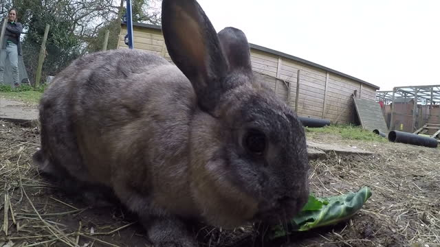 exterior shots of pet rabbits eating and exploring in an outdoor enclosure>> on march 26 2016 in royston england - osterhase stock-videos und b-roll-filmmaterial