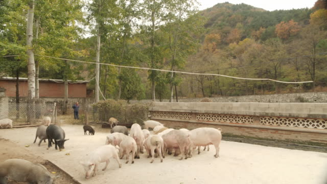 exterior shots of pigs on a pig farm being fed and tended to by a pig farmer on 24 october 2019 in hebei province china - influenza a virus stock videos & royalty-free footage