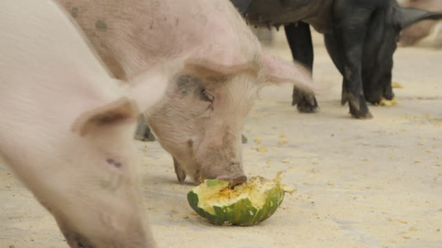 stockvideo's en b-roll-footage met exterior shots of pigs on a pig farm being fed and tended to by a pig farmer on 24 october 2019 in hebei province, china - varken