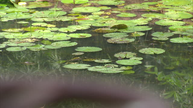 exterior shots of plants and a bridge over a pond in surrounding kuala lumpur lake gardens on march 28 2014 in kuala lumpur malaysia - surrounding stock videos and b-roll footage