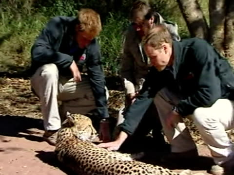 Exterior shots of Prince William and Prince Harry stroking a cheetah relaxing on the ground Exterior shots of the cheetah stretching and playfully...