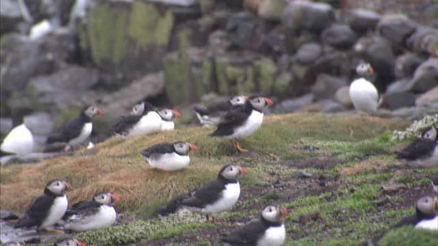 exterior shots of puffins in a colony on the farne islands nature reserve on may 15, 2013 off the coast of northumberland, england. - grey seal stock videos & royalty-free footage