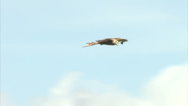 exterior shots of red kites flying above a hilltop in rhayader in wales on august 14 2016 in watlington england - bird of prey stock videos & royalty-free footage
