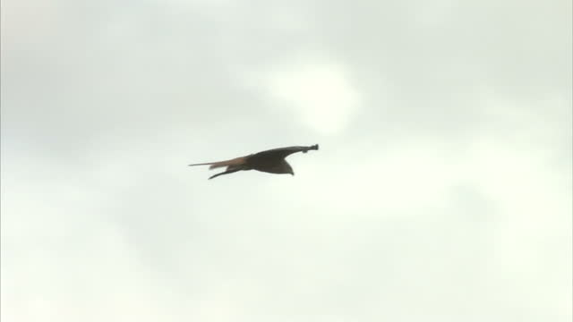 exterior shots of red kites flying above a hilltop in rhayader in wales on august 14 2016 in watlington england - rotmilan stock-videos und b-roll-filmmaterial