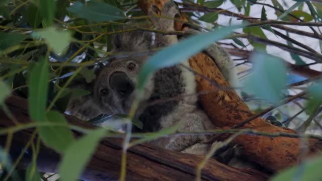 exterior shots of rescued koala bears on a trees at taree koala hospital on 15 november 2019 in taree, australia. - rescue stock videos & royalty-free footage