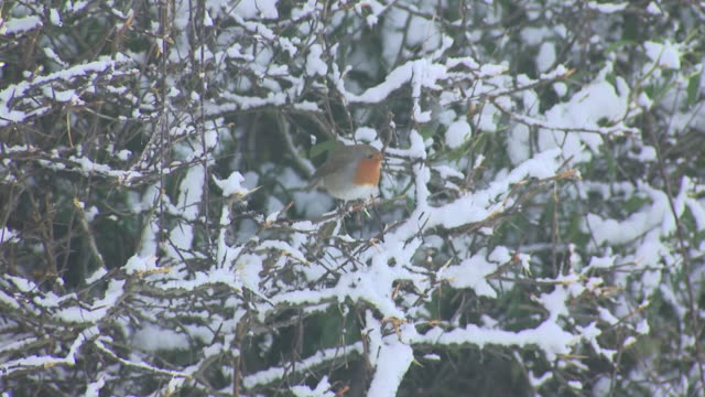 exterior shots of robin birds during a snowy winter day on 2nd february 2019 in sunderland, england. - robin day stock videos & royalty-free footage