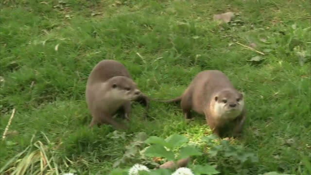 exterior shots of sea otters running around on 25 april 2020 in dartmoor zoo united kingdom - otter stock videos & royalty-free footage