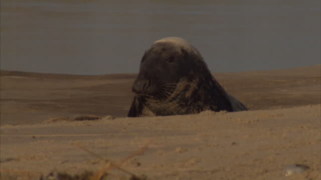 exterior shots of seal pups on blakeney point beach. the seal pups were discovered lost after the norfolk coastline experienced an extreme tidal... - aquatic organism stock videos & royalty-free footage
