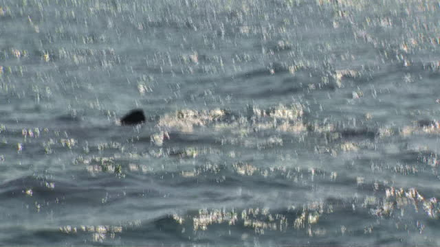 exterior shots of several basking sharks with dorsal fins visible above the water line swimming from a moving boat on 5 august 2019 off the isle of... - animal fin stock videos & royalty-free footage