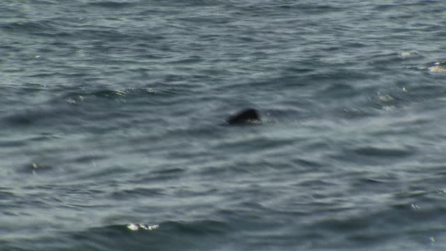 stockvideo's en b-roll-footage met exterior shots of several basking sharks with dorsal fins visible above the water line swimming from a moving boat on 5 august 2019 off the isle of... - fish swim