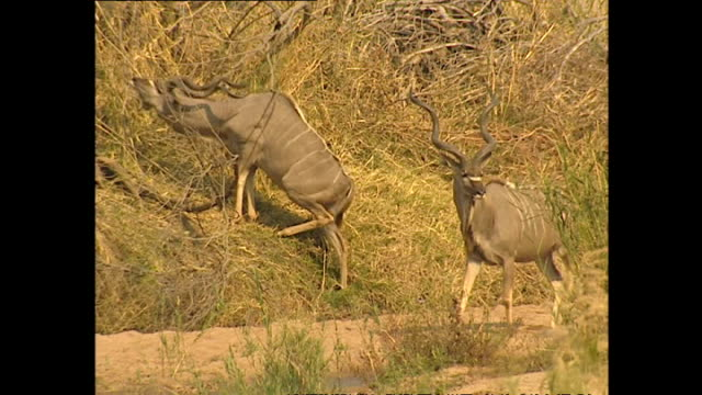 Exterior shots of several Kudu antelope at a riverside on the Sabi Sand game reserve on July 25 2002 in Krugersdorp South Africa