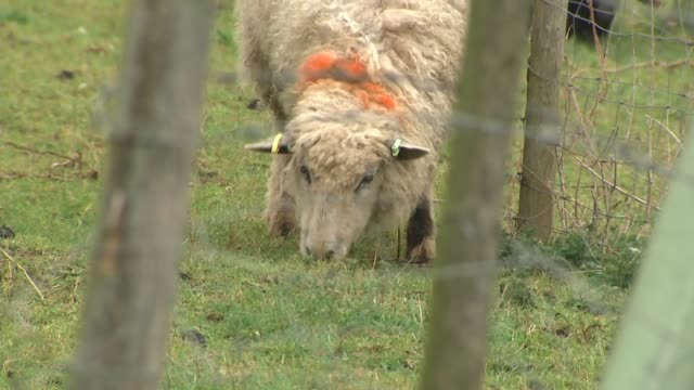 Exterior shots of sheep and dog herding the animals on a farm on 8 March 2019 in Cirencester England