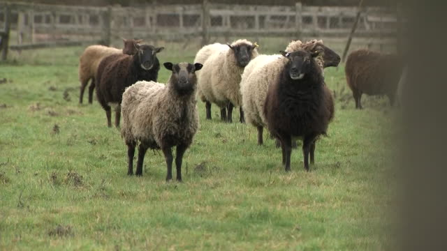 vídeos y material grabado en eventos de stock de exterior shots of sheep in the fields staring at the camera and eating grass on the tyn llwyfan farm on 16 february 2019 in conwy wales - mamífero ungulado