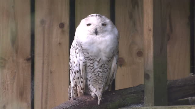 exterior shots of snowy owls in an enclosure at birdland park and gardens in gloucestershire>> on august 03 2014 in bourtononthewater england - enclosure stock videos & royalty-free footage