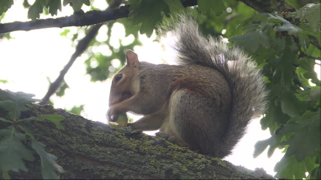 exterior shots of squirrel eating a nut on a tree branch on the 30th august 2020 in london, england - animals in the wild stock videos & royalty-free footage
