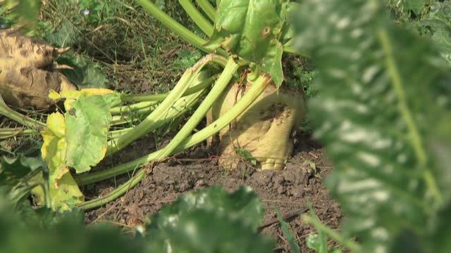 exterior shots of sugar beet growing in a field on 26 september 2017 in peterborough united kingdom - root vegetable stock videos and b-roll footage