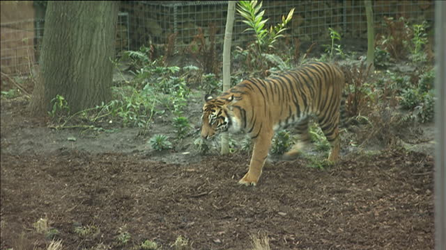exterior shots of sumatran tiger walking about pen enclosure through tree shrubs and plants sumatran tiger at london zoo at zsl london zoo on march... - enclosure stock videos and b-roll footage