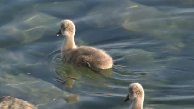 exterior shots of swans and cygnet swans swimming on lake geneva. on may 17, 2016 in lausanne, switzerland. - cygnet stock videos & royalty-free footage