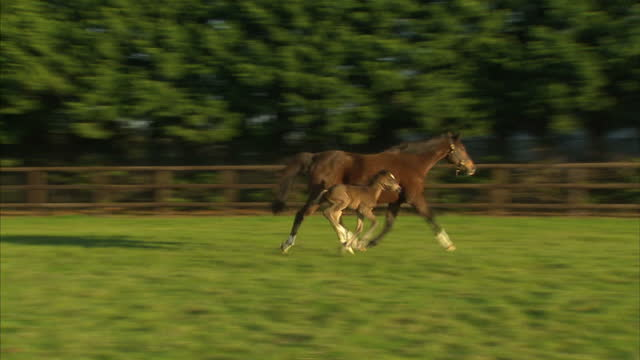 exterior shots of the first filly foal by frankel in a paddock with her dam song an eight year old mare by sadler's wells shots of the foal cantering... - newmarket suffolk england stock videos and b-roll footage