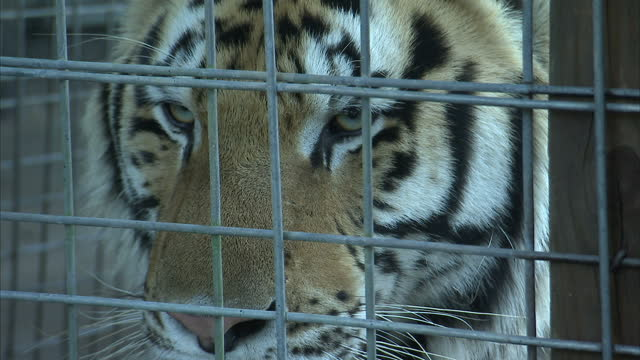 exterior shots of tigers in a cage at dade city wild things wildlife park in florida on december 26 2015 in orlando florida - 捕らえられた動物点の映像素材/bロール