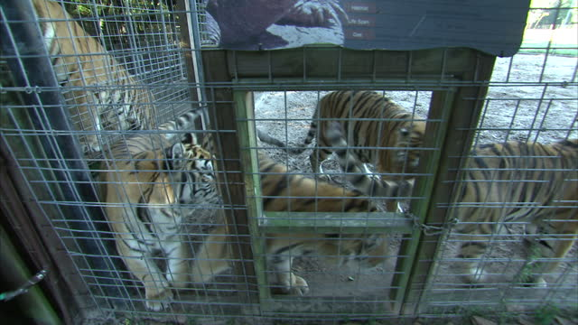 Exterior shots of tigers in a cage at Dade City Wild Things wildlife park in Florida on December 26 2015 in Orlando Florida