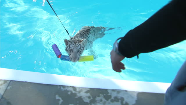 exterior shots of two handlers in dade city wild things wildlife park leading a tiger cub encouraging it to swim on a lead in a swimming pool on... - captive animals stock-videos und b-roll-filmmaterial