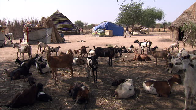exterior shots of villagers cattle in a small village in southern sudan villagers in southern sudan on december 10 2010 in juba sudan - ジュバ市点の映像素材/bロール