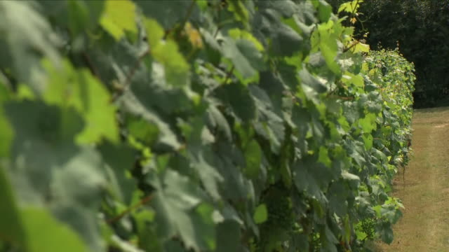 exterior shots of vines unripe grapes plantation of grapebearing vines at biddenden vineyards on 24 july 2018 is ashford england - unripe stock videos and b-roll footage