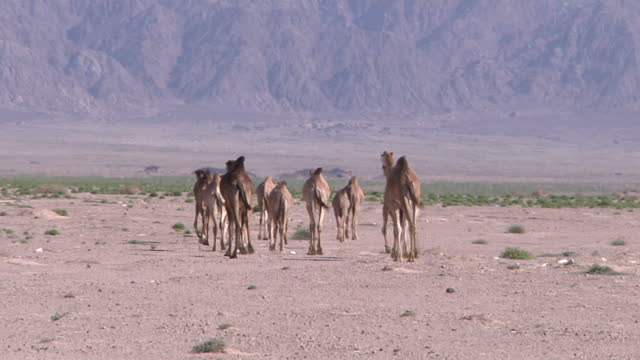 exterior shots of wild camels in desert land on february 13 2011 in sharm el sheikh egypt - hooved animal stock videos & royalty-free footage
