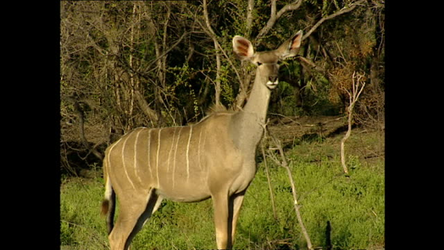 Exterior shots of wild game in Kruger National Park Kudu and Buffalo on December 04 2002 in Krugersdorp South Africa