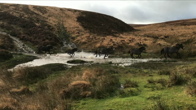 Exterior shots of wild ponies on Exmoor running over a stream on 25 February 2018 in Devon United Kingdom