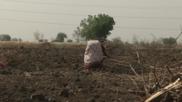 exterior shots of women in a rural indian farm field clearing dead twiggy remains of a cotton crop on 4 april 2019 in maharashtra india - maharashtra stock-videos und b-roll-filmmaterial