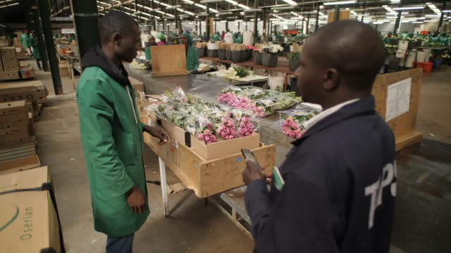 exterior shots of workers in a flower packing factory sorting and packing flowers for export to europe and roses growing and being tended under... - kenia stock-videos und b-roll-filmmaterial