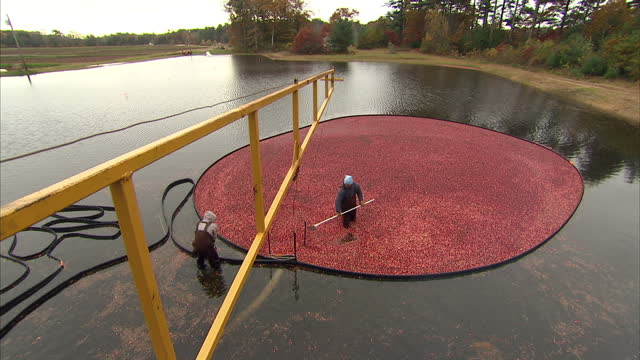 exterior shots of workers on a cranberry farm stood in a flooded cranberry field in waders, scooping floating harvested cranberries into a vaccum... - cranberry stock videos & royalty-free footage