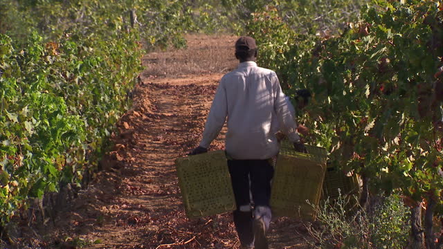 Exterior shots of workers on Cliff Richard's Quinta do Moinho wine estate tending to the vines on August 16 2014 in Guia Portugal