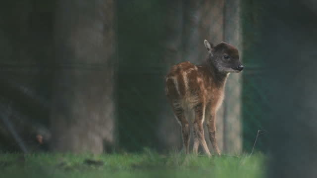 exterior shots of young philippine spotted deer with its mother and father on january 12, 2017 in chester, england. - 英国チェスター点の映像素材/bロール